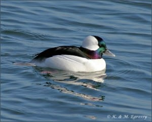 Bufflehead - male  (Karl Egressy)