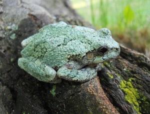 Gray Treefrog - Wkimedia