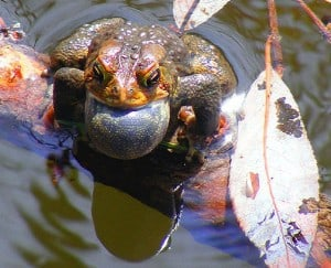 American Toad singing (Wikipedia)