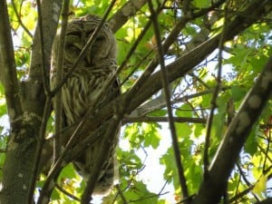 Barred Owl (Mike Faught)