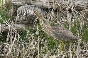 American Bittern - by Don Pettypiece