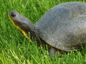 Blanding's Turtle -  Rick Stankiewicz
