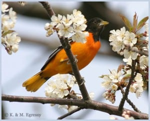 Baltimore Oriole by Karl Egressy