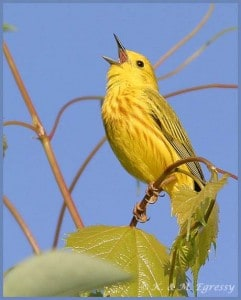 Yellow Warbler - by Karl Egressy