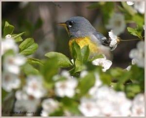 Northern Parula warbler (Karl Egressy)
