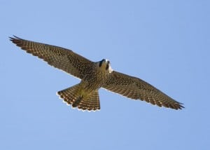 Peregrine Falcon (Karl Egressy)