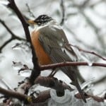 Leucistic American Robin (Alan Dextrase - April 12, 2013)