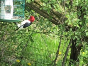 Red-headed Woodpecker (Gary Aitkens)