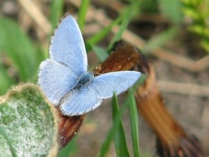 Spring Azure (male)