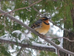 Varied Thrush (Tony Bigg)