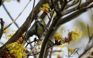 Yellow-rumped Warbler (male) - Jeff Keller