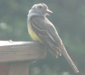 Great Crested Flycatcher (David Frank)