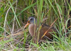 Virginia Rail - by Karl Egressy