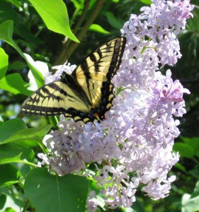 Canadian Swallowtail - Stephenie Armstrong