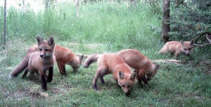 Red Fox cubs  - Ennismore, June 2013