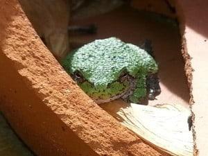 Gray Treefrog Kim Mitchell (Medium)