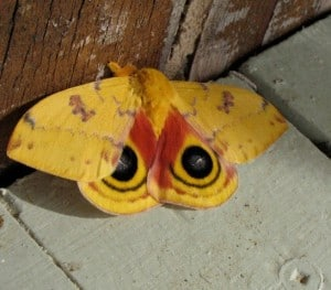 Io moth - Jill