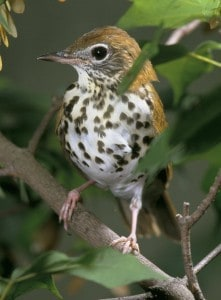 Wood Thrush, a species in serious decline - Wikimedia