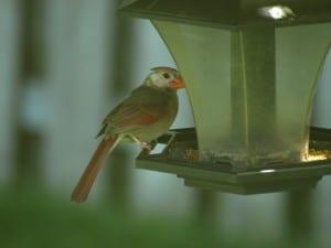 leucistic female cardinal (Ruthanne Sobiera June 2013)