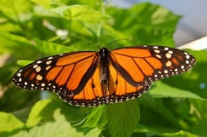 Male Monarch - Wikimedia