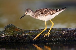Lesser yellowlegs - Wikimedia