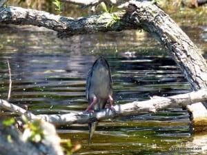 Green Heron fishing (Don McLeod)