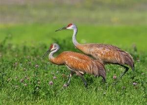 Sandhill Cranes (Karl Egressy)