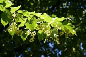 Little Leaf Linden in flower