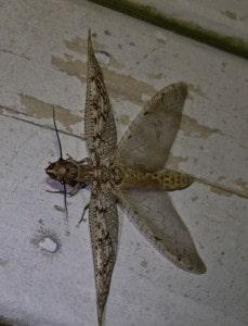 Female Eastern Dobsonfly (Rick Kemp)