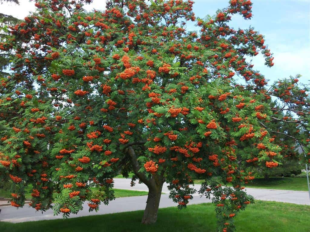 Image result for Showy Mountain Ash