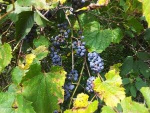 Wild Grape on T-C Trail