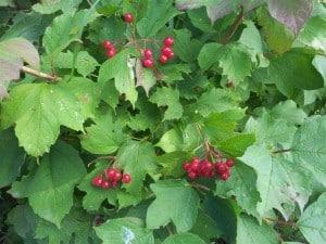 American High-bush Cranberry - Aug. 23