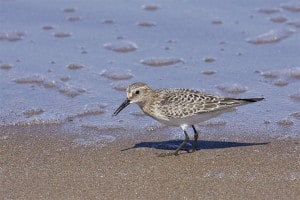 juvenile Baird's Sandpiper (Wikimedia)