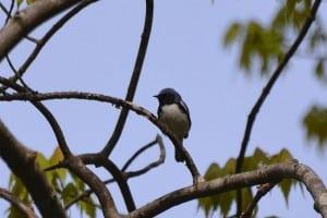 Black-throated Blue Warbler - Brendan Boyd