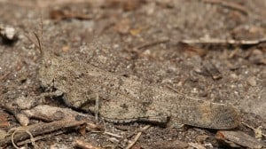 Carolina Locust on the ground