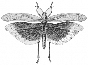 Carolina Locust in flight