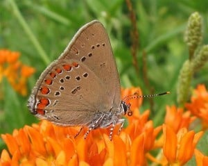 Coral Hairstreak on Butterfly Milkweed