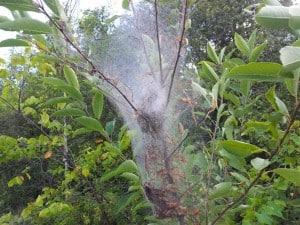 Fall Webworm nest on TCT Aug. 23