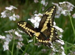 Giant Swallowtail on phlox - Tim Dyson
