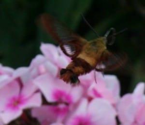 Hummingbird Clearwing (Colum Diamond)