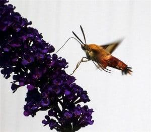Hummingbird Clearwing (Rick Stankiewicz)