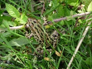 Northern Leopard Frog in grass