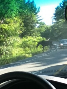 Cow Moose on County Road 507 (Jennifer DeBues)