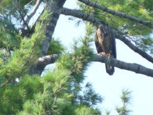 Juvenile Bald Eagle on Buckhorn Lake