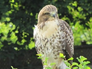 Close-up view of one of the juvenile Red-tails (Sherry Oldham)