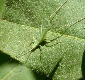 Snowy Tree Cricket - Wikimedia