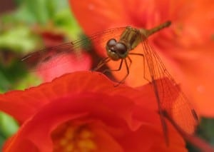 Meadowhawk (Sympetrum) dragonfly - Margo Hughes