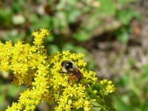 Tricoloured Bumble Bee on goldenrod