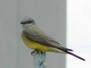 Western Kingbird (adult)