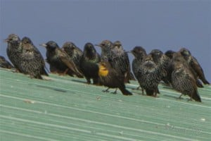 Here's why you need to check blackbird flocks carefully!